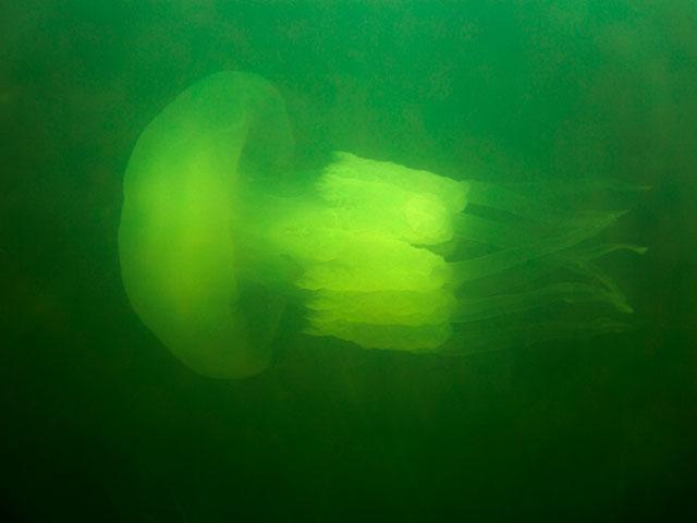 Бочковая медуза (иллюстрация)