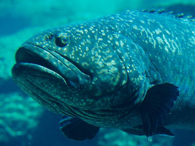 У берегов Флориды пойман 160-килограммовый морской окунь – самая старая рыба Америки
