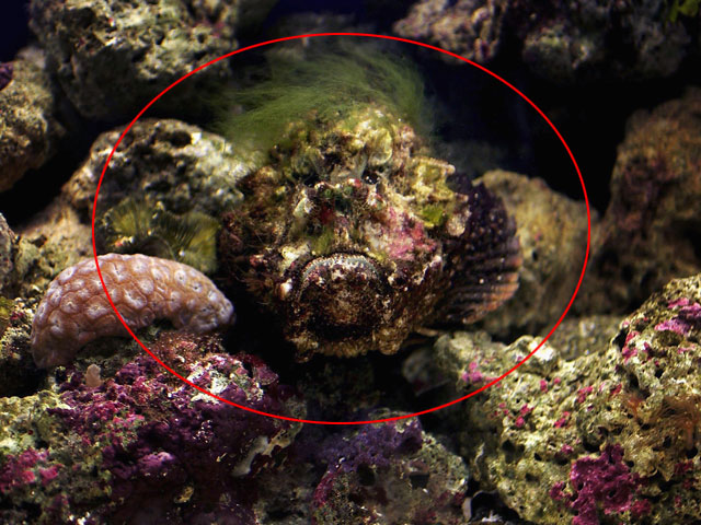 Картинки по запросу Рыба бородавчатка