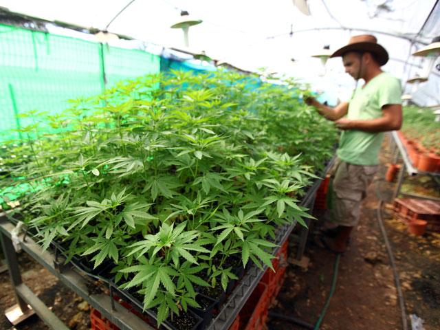 Как вырастить коноплю в парнике интернет продажи марихуаны