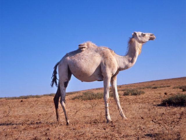 Подозрение: распространителями вируса MERS могут быть одногорбые верблюды