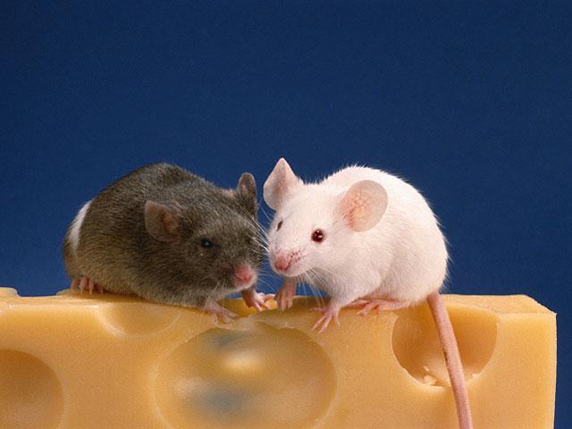 Ученые из института метаболизма в Кембридже обнаружили, что мыши, родившиеся без определенного участка ДНК – гена под названием KSR2 – легче набирают вес