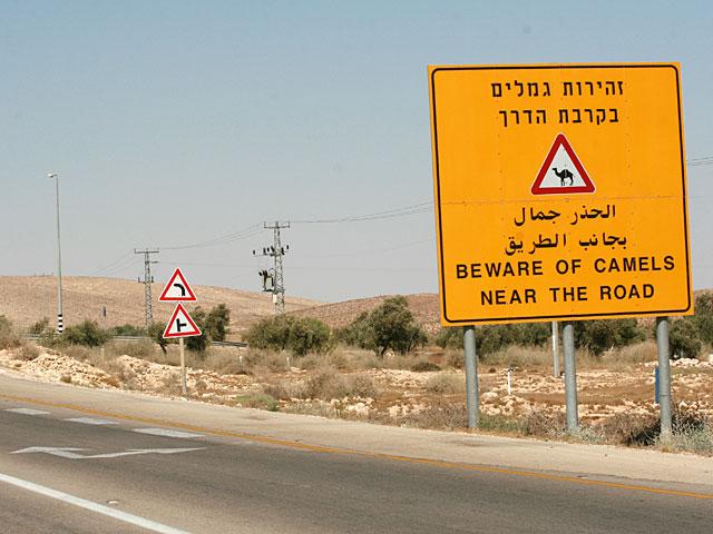 На шоссе 25 автомобиль столкнулся с верблюдом