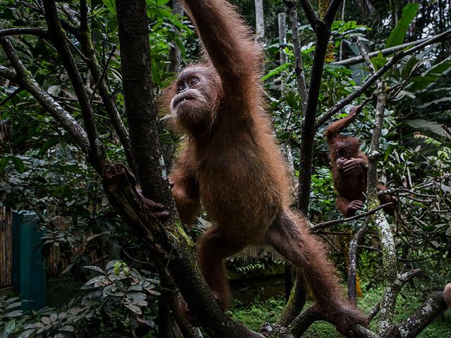 orangutan rehabilitation in sumatra essay Orangutan orphanage has 36 ratings photo-essay to orangutans under the care of dr mary gladikas at her orangutan rescue and rehabilitation center in.