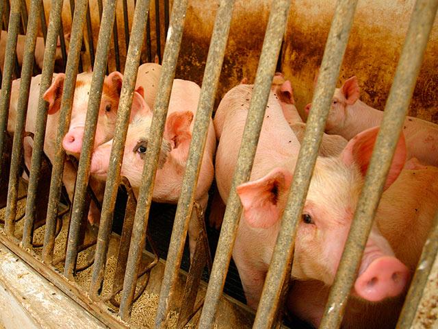 ЦАХАЛ потратил 230 тысяч шекелей на покупку свиней для тренировок врачей и военфельдшеров