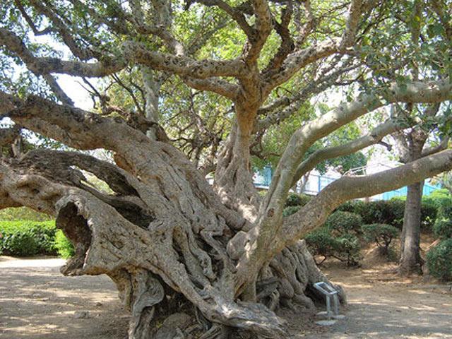 Самые старые деревья в Израиле. Список, ФОТО