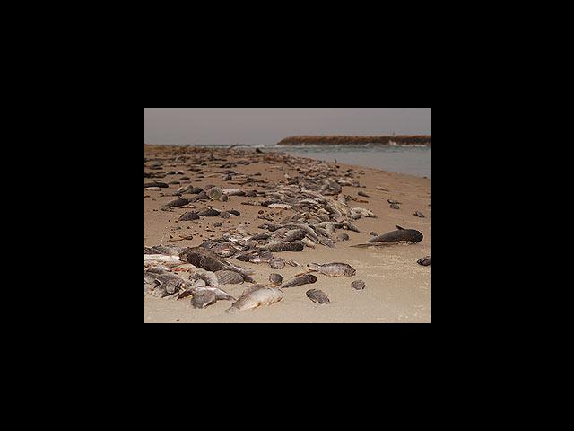 Массовая гибель рыб в устье реки на побережье Средиземного моря (архивное фото)