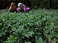 """Аль-Иттихад"": $250 млн Насраллы и дети сирийских беженцев на плантациях конопли"