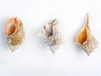 Раковины, использовавшиеся при обработке тканей