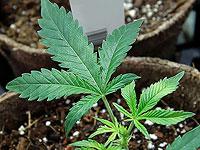 Одобрение в Нью-Йорке легализации марихуаны в рекреационных целях привело к росту основных биржевых индексов