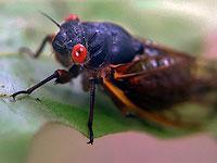 Восток США подвергся нашествию миллиардов цикад
