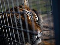 В зоопарке Вашингтона заразились COVID-19 львы и тигры