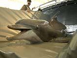 Боевой дельфин ВМС США в Персидском заливе. 2003 год