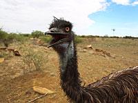 Австралийский страус едва не стал причиной дорожной аварии в Герцлии
