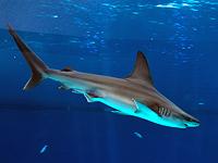 В эстуарии ручья Хадера замечена крупная стая акул